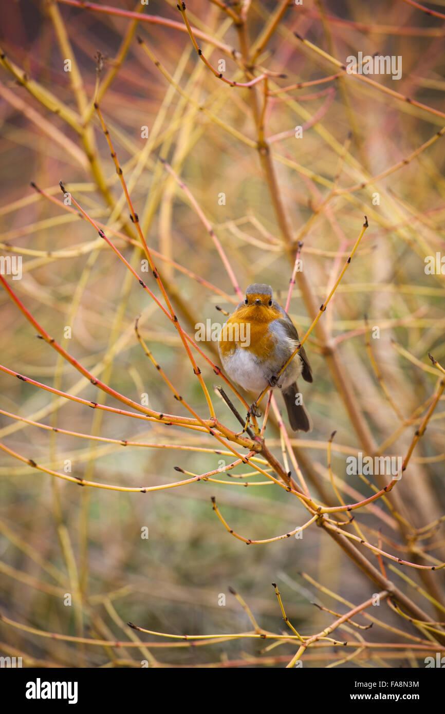robin sitting amongst the branches of cornus sanguinea u0027midwinter