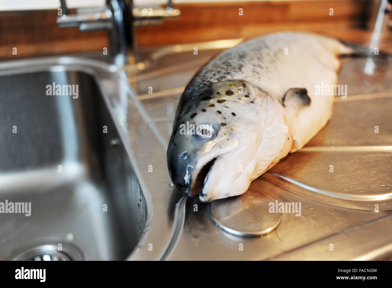 Whole salmon being prepared for cooking at kitchen sink stock photo whole salmon being prepared for cooking at kitchen sink workwithnaturefo