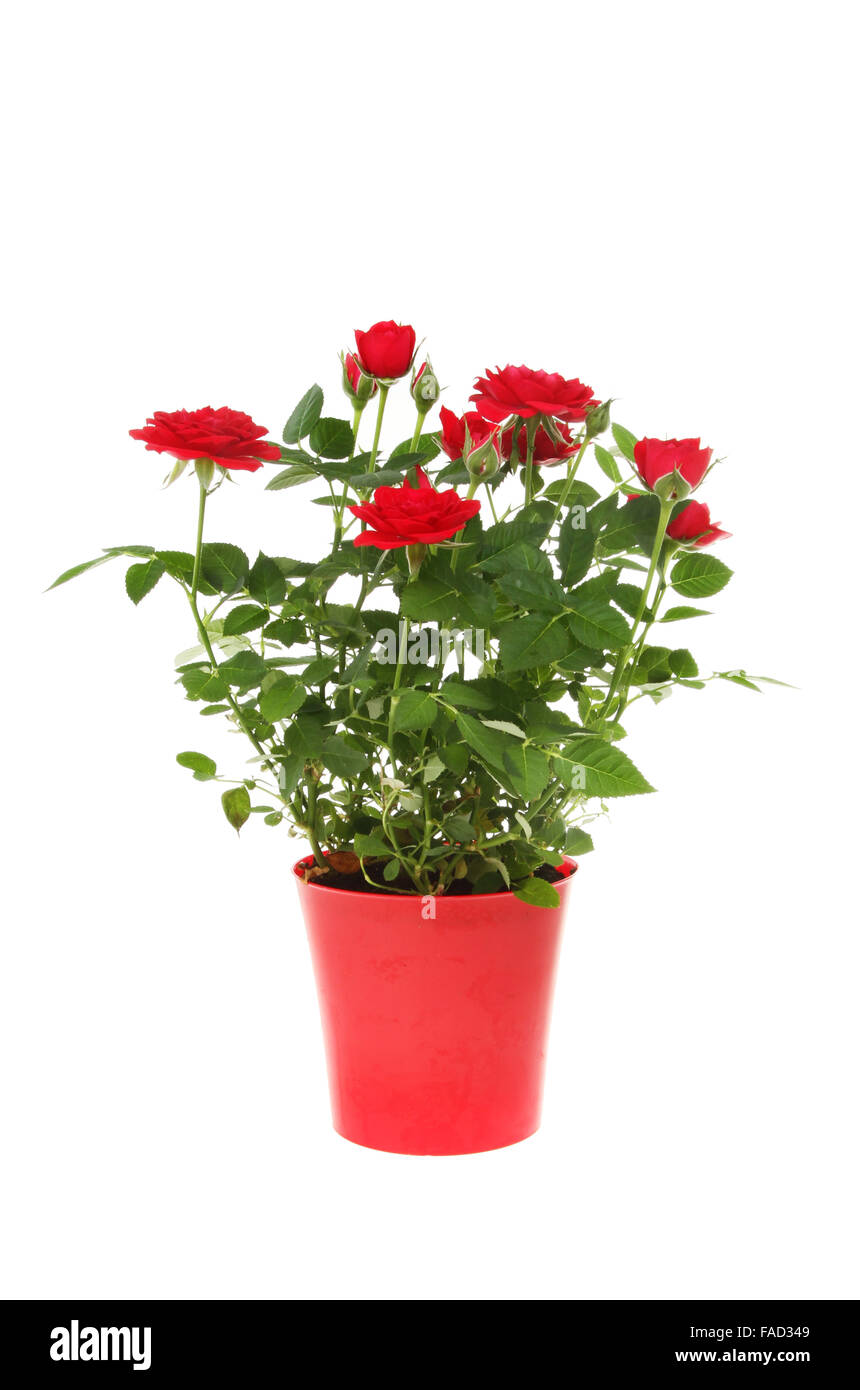 miniature red rose plant in a red plastic pot isolated against white stock photo royalty free. Black Bedroom Furniture Sets. Home Design Ideas