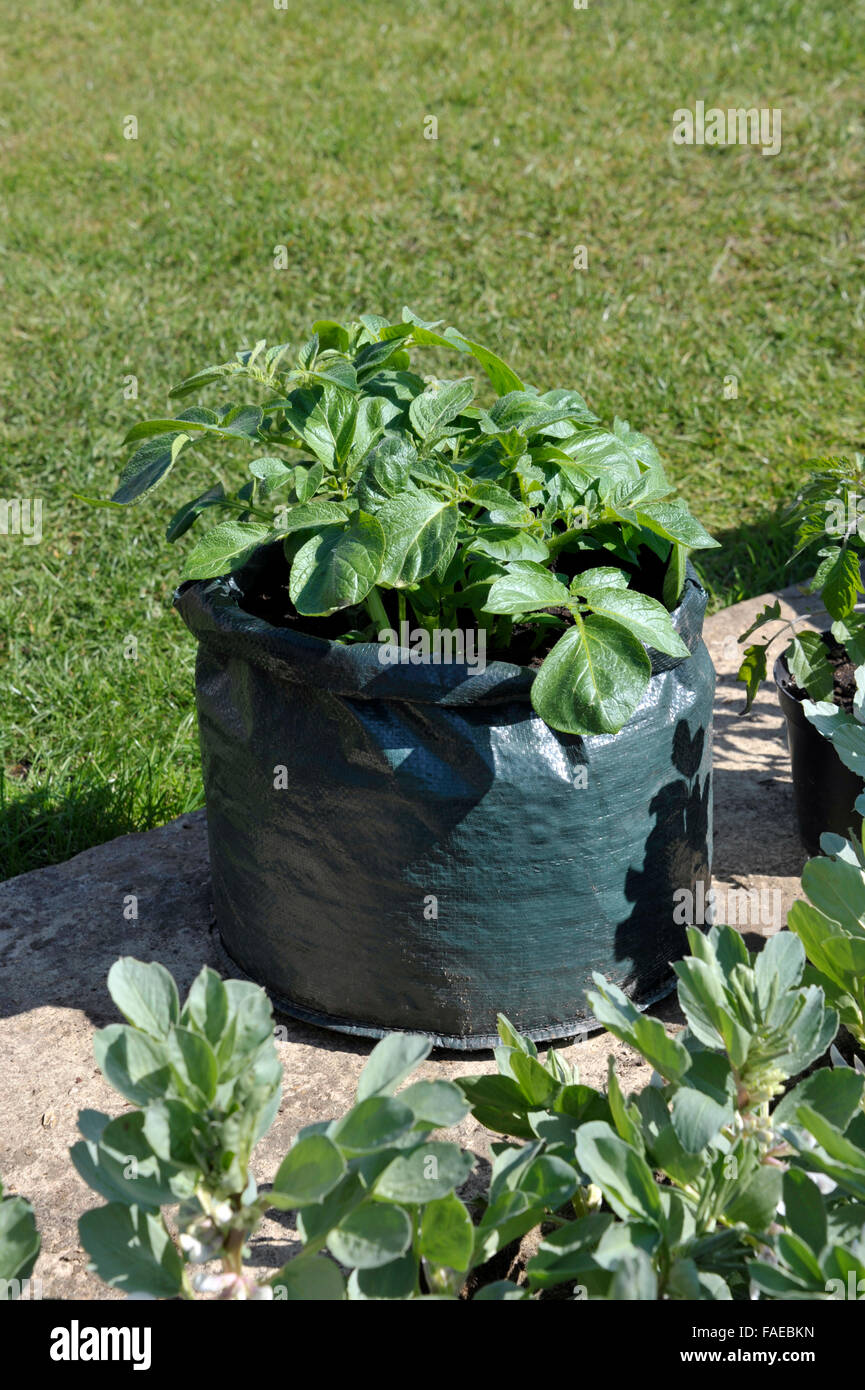 Awesome Container Grown Potatoes In A Space Saving Patio Bag Of Compost. Variety  Charlotte, A