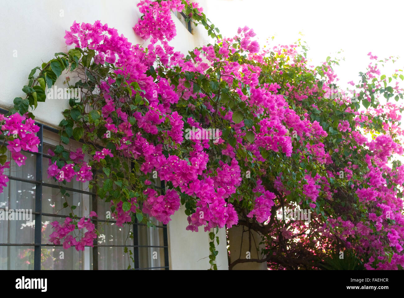Bougainvillea Vines Growing On Wall Of Home In Acapulco