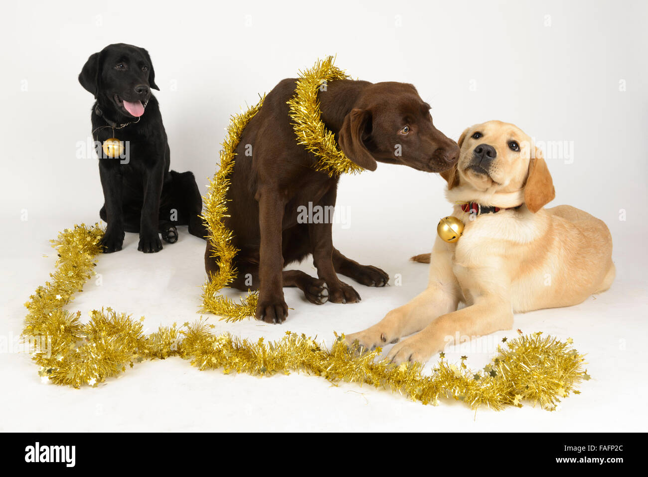 Yellow, black and chocolate labrador retriever dogs ...