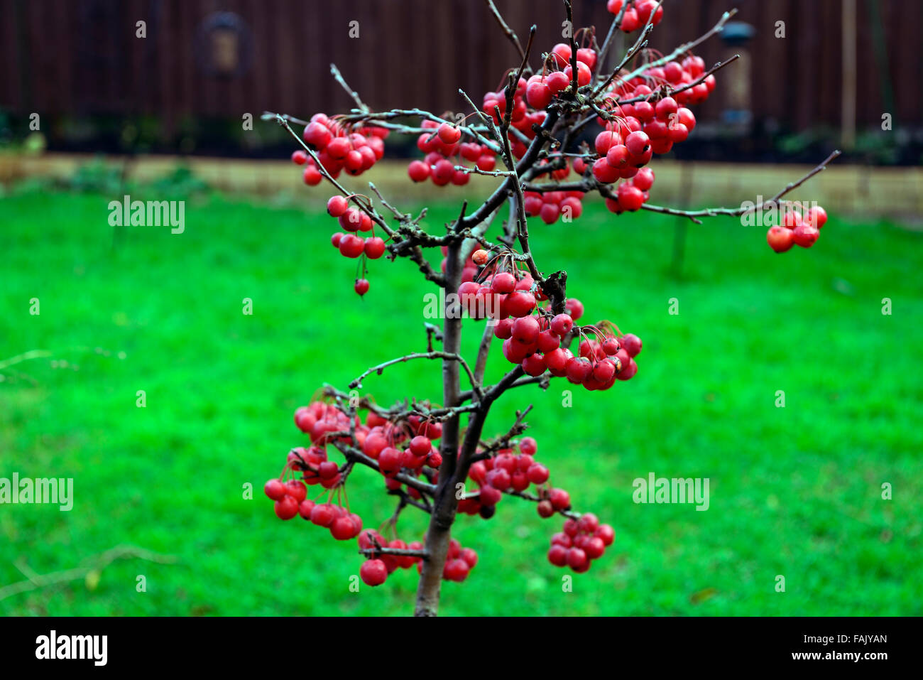 Dwarf crab apple tree winter christmas red berry berries for Apple tree decoration