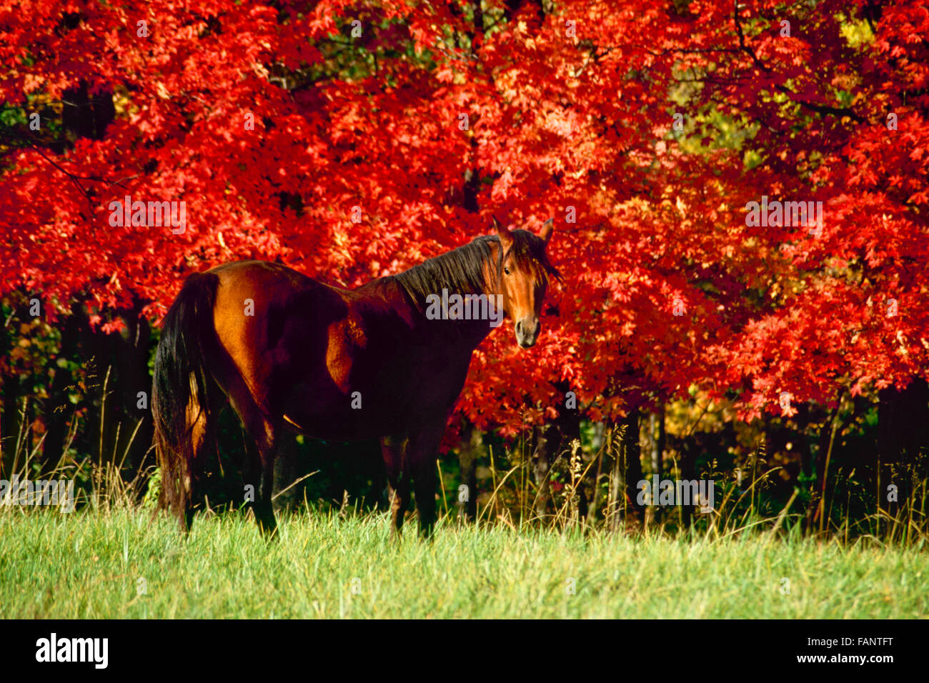 Chestnut horse in autumn with red maple trees Missouri Stock