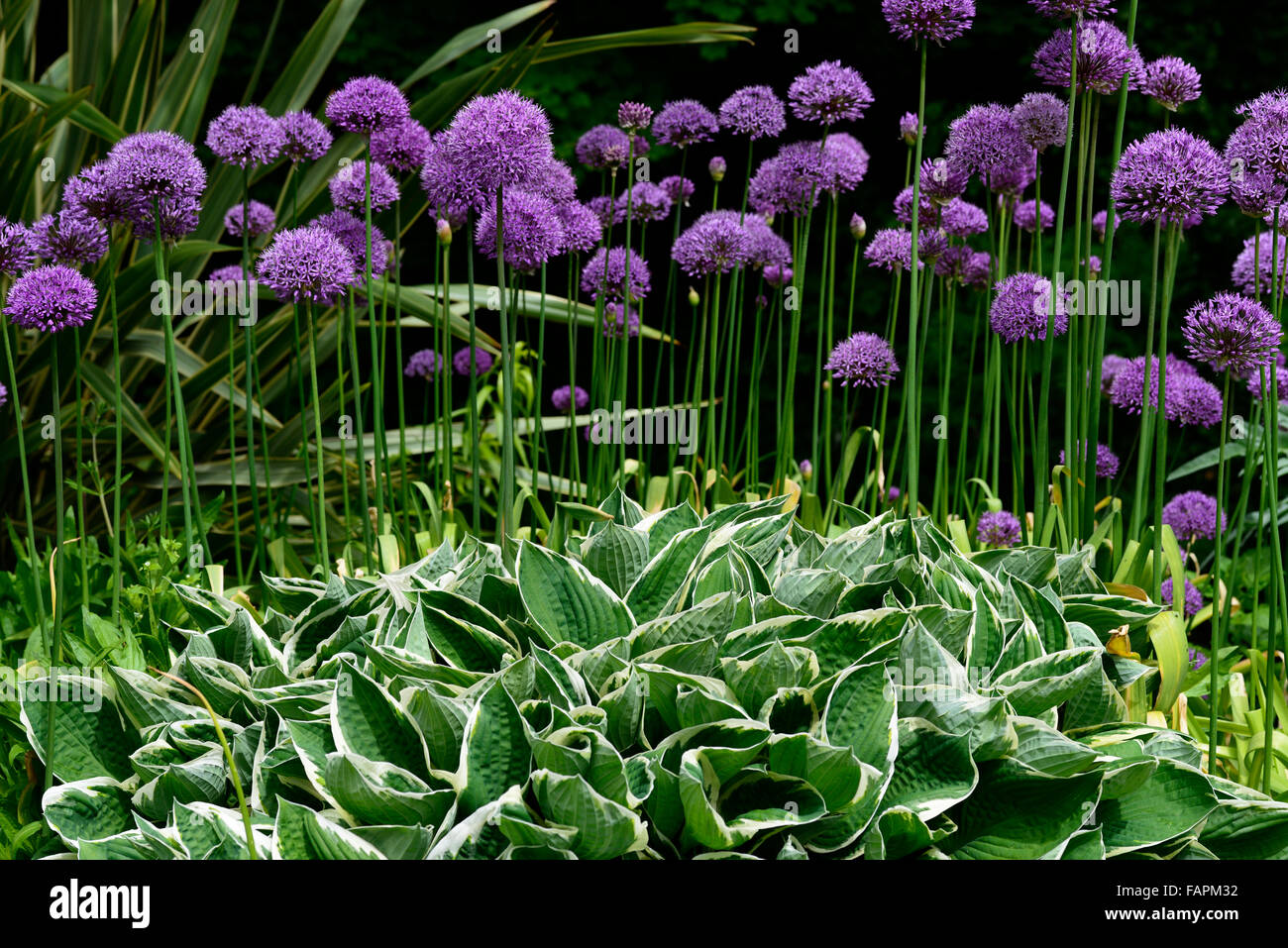 allium purple sensation planten halve parasol. Black Bedroom Furniture Sets. Home Design Ideas