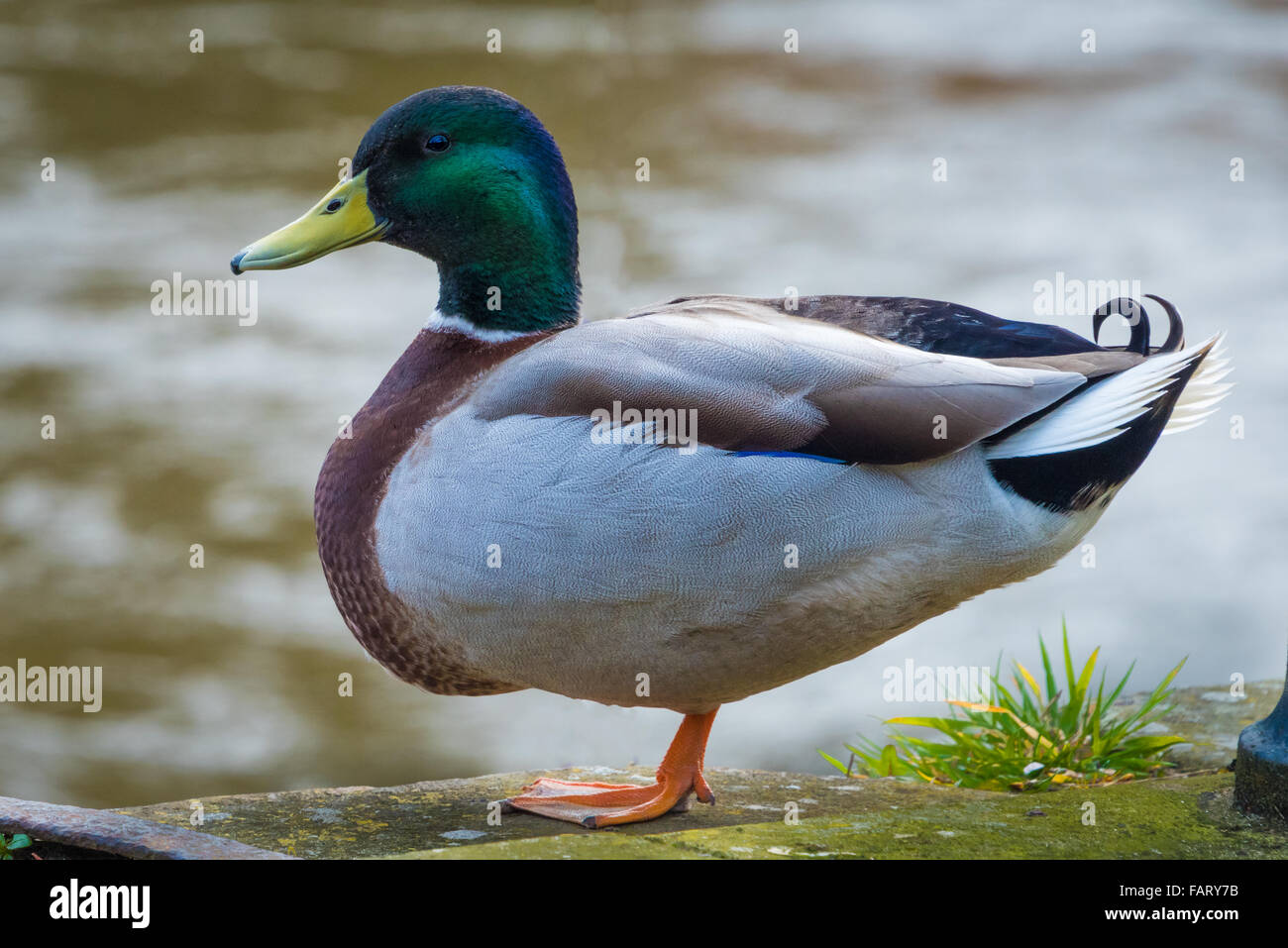 a male mallard duck sitting by the river severn stock photo