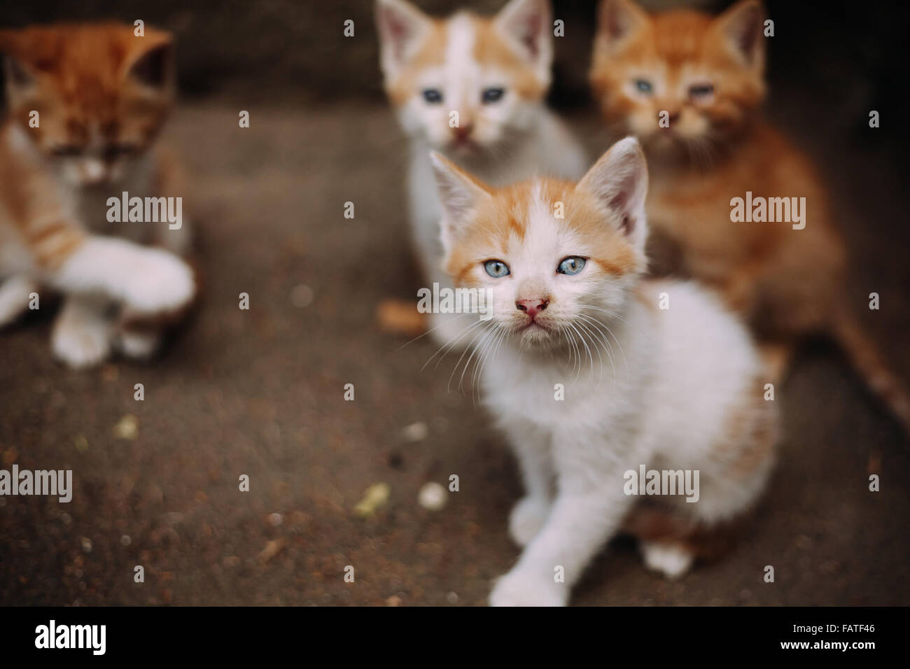 Four cute small stray white and ginger kittens Stock