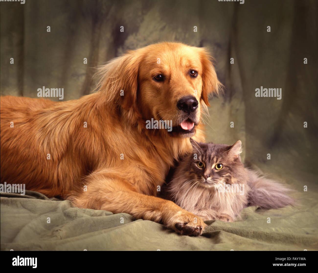 Persian cat and golden retriever