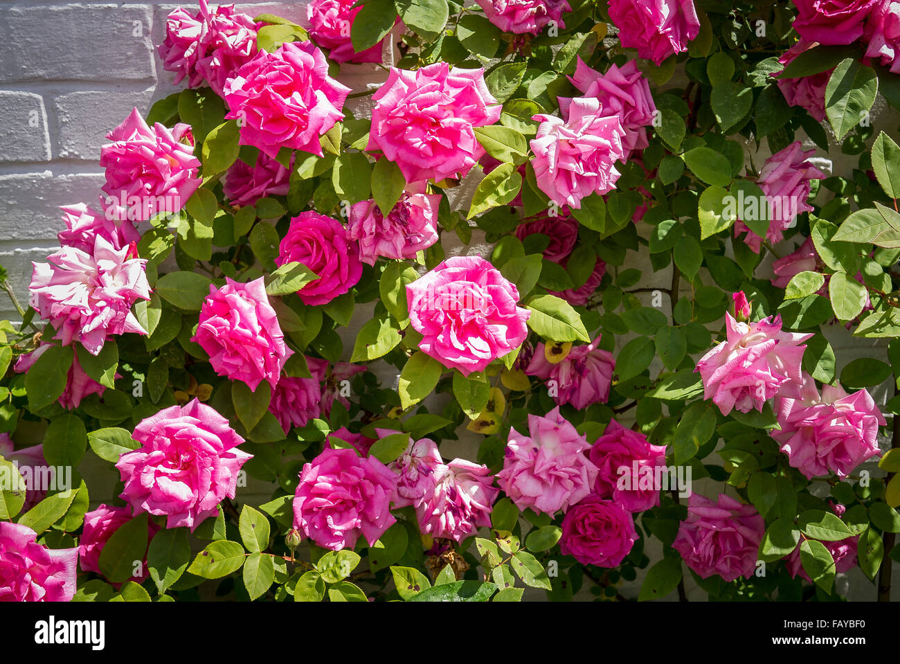 Love Garden Roses: Climbing Rose Zephirine Drouhin In Full Flower Stock Photo