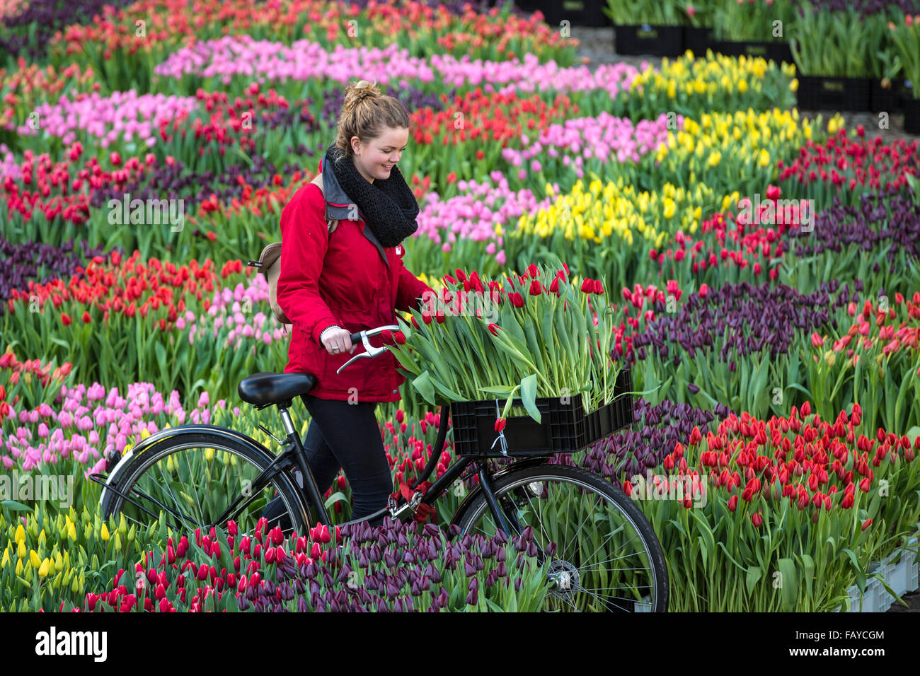 Netherlands amsterdam start tulip season at dam square for What season are tulips