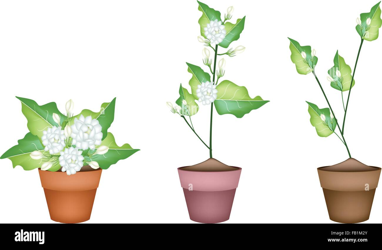 Beautiful flower an illustration of three white jasmine flowers on beautiful flower an illustration of three white jasmine flowers on green leaves in terracotta flower pot for garden decoration izmirmasajfo