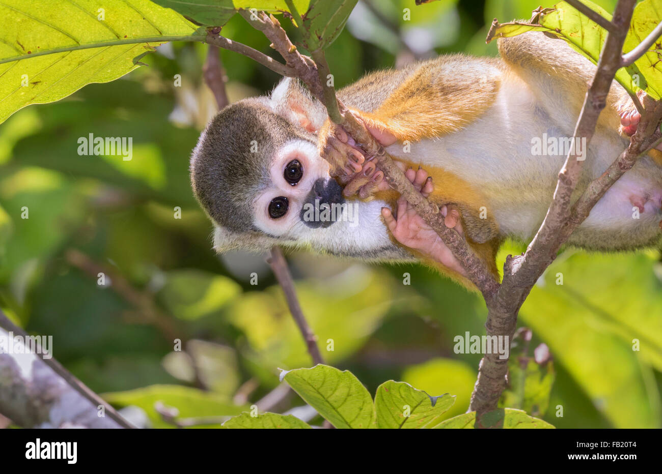 Squirrel monkey (Saimiri sciureus) in rainforest canopy Pacaya Samiria National Reserve Yanayacu River Amazon area Peru & Squirrel monkey (Saimiri sciureus) in rainforest canopy Pacaya ...