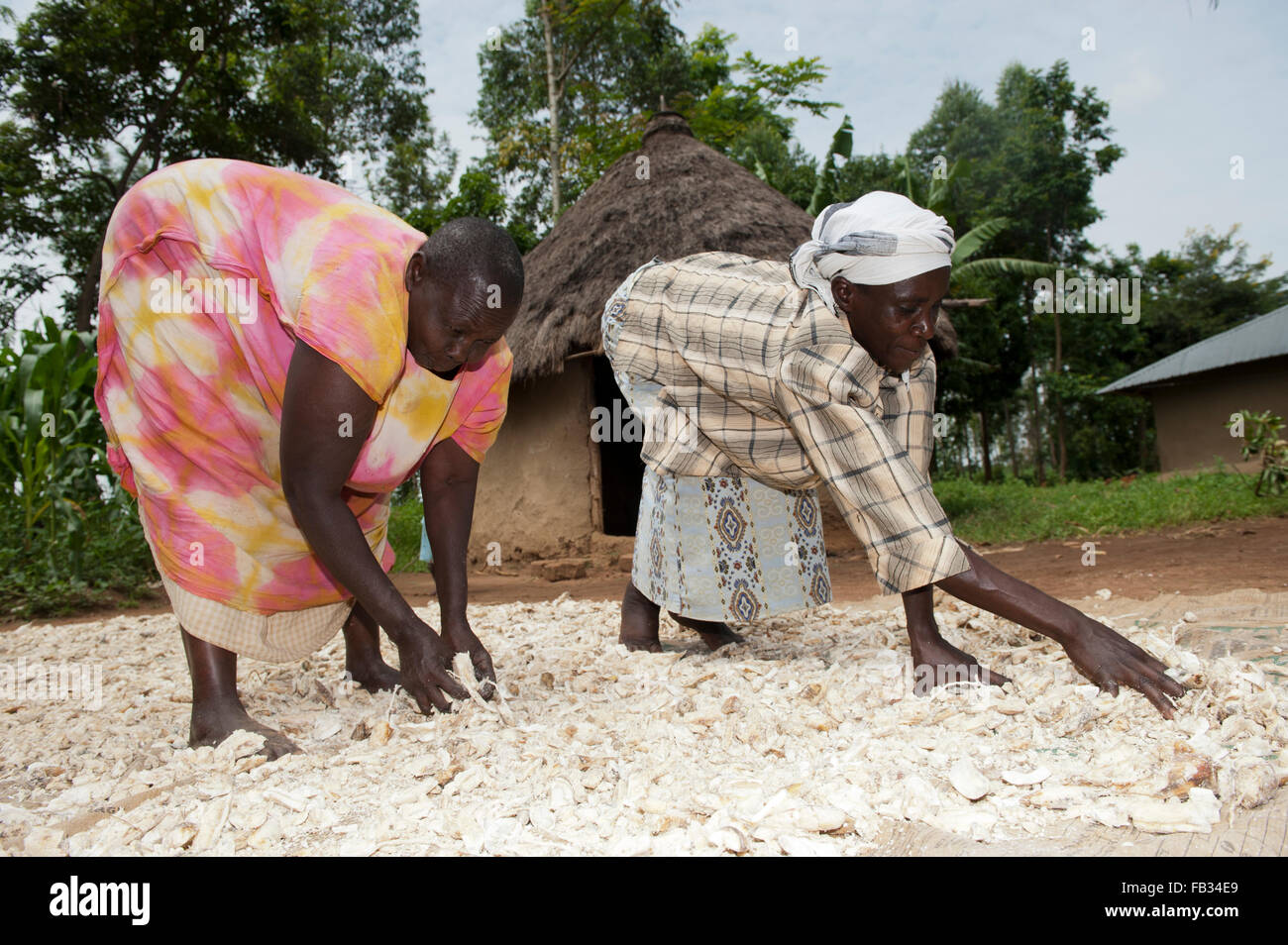 Kenyan women drying cassava on ground outside their homes bumala kenya stock