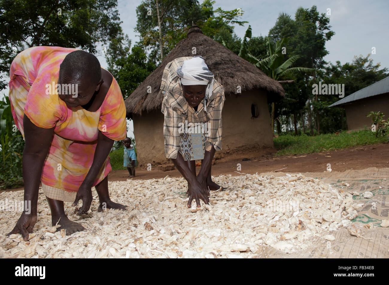 Kenyan women drying cassava on ground outside their homes bumala kenya