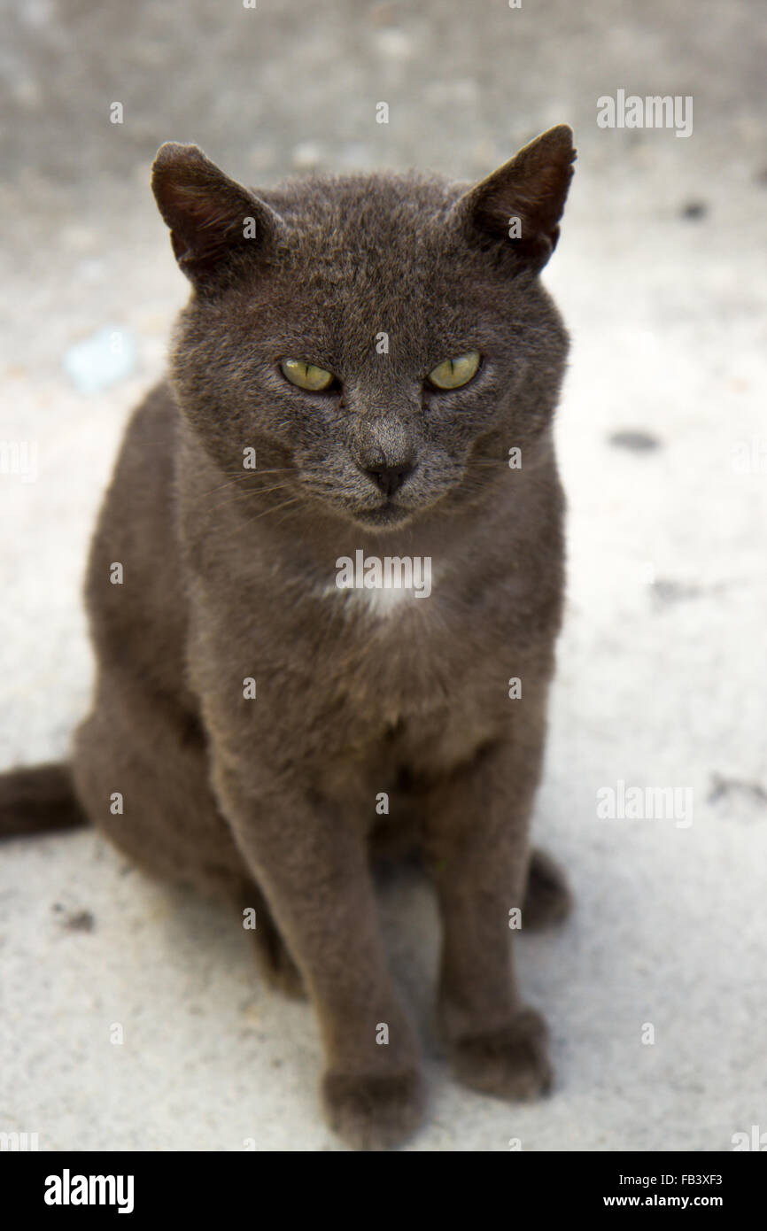 grey cat with yellow green eyes and white chest patch sitting