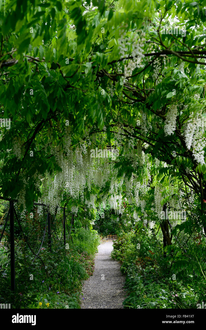 white wisteria sinensis arch arched pergola tunnel flower flowers