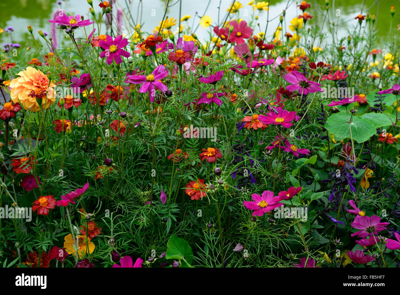 cosmos bipinnatus tithonia dahlia marigold salvia amistad ...
