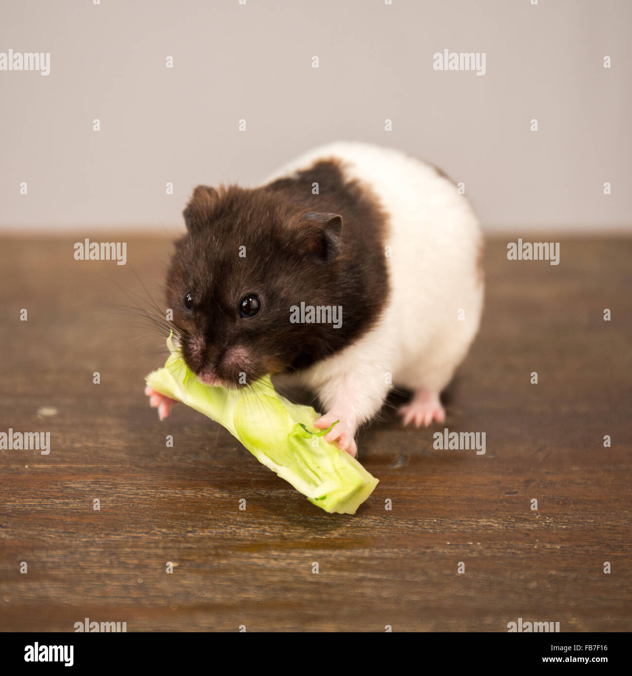 black and white syrian hamster eating a broccoli stem ...