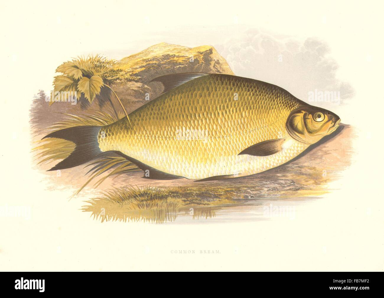 Freshwater fish england - Freshwater Fish Common Bream Abramis Brama Houghton Lydon Print 1879