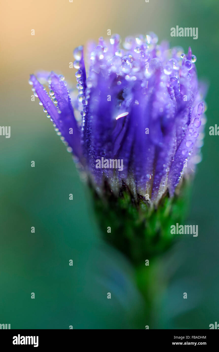Dew On A Closed Blue Aster Flower With Soft Green Background Stock