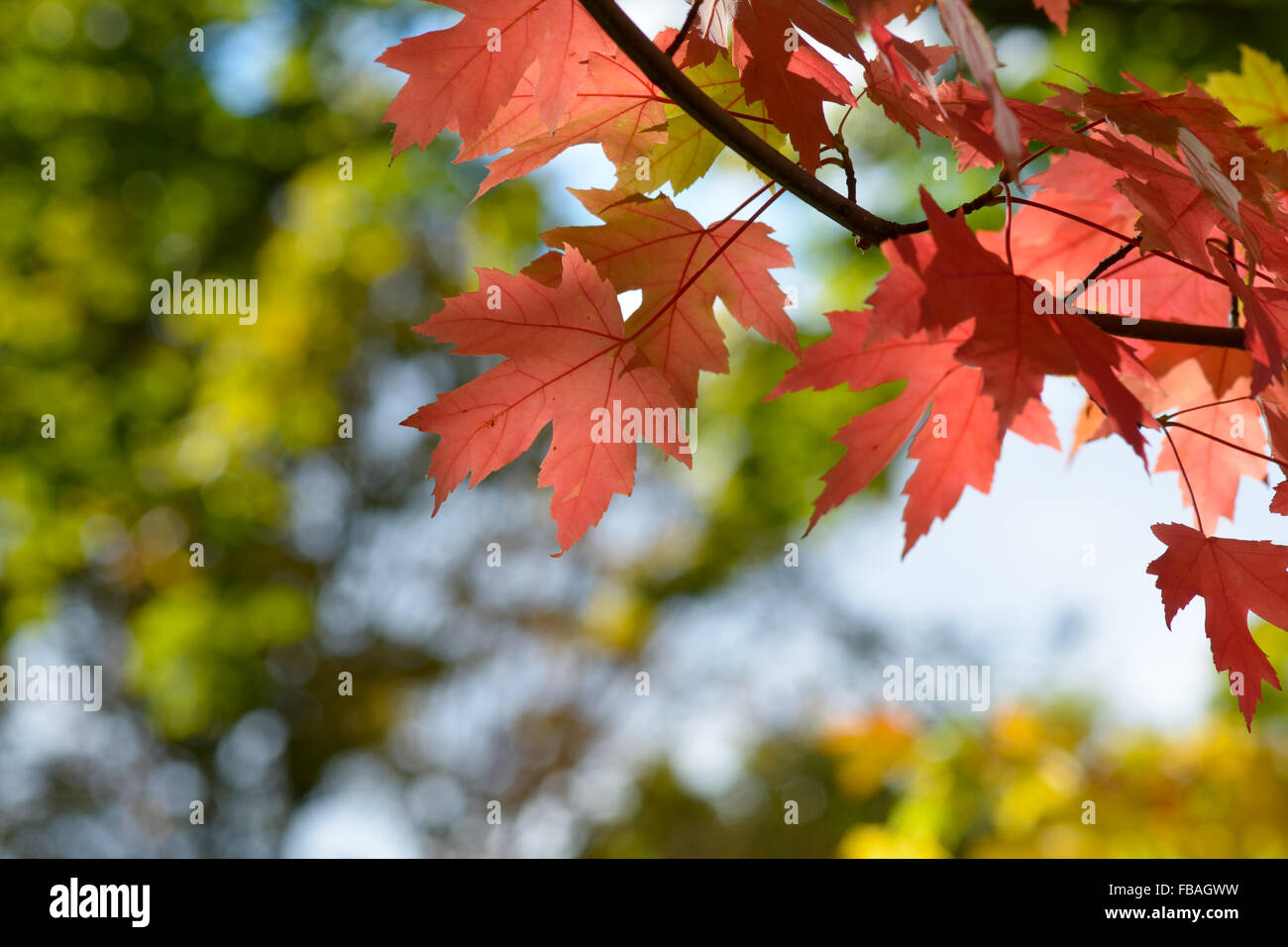 Bright vibrant color maple tree acer leaves in fall for Bright vibrant colors