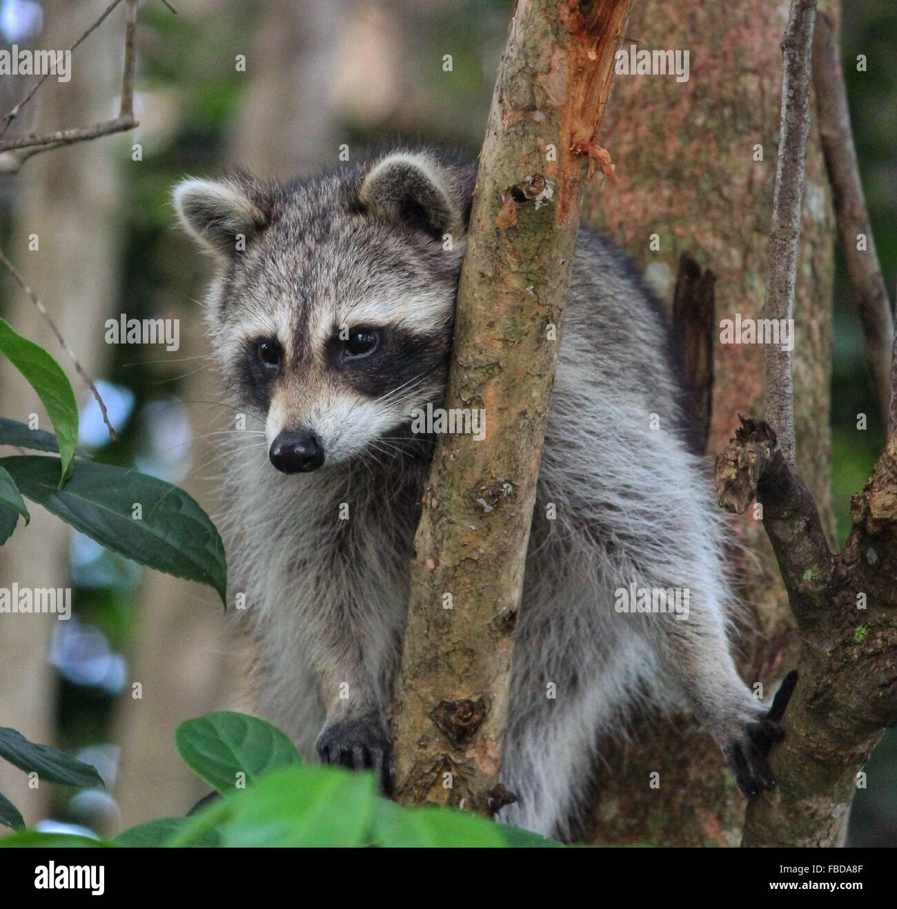 close up of raccoon on tree in forest stock photo royalty free