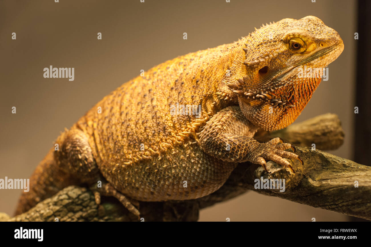 how to look after a bearded dragon egg