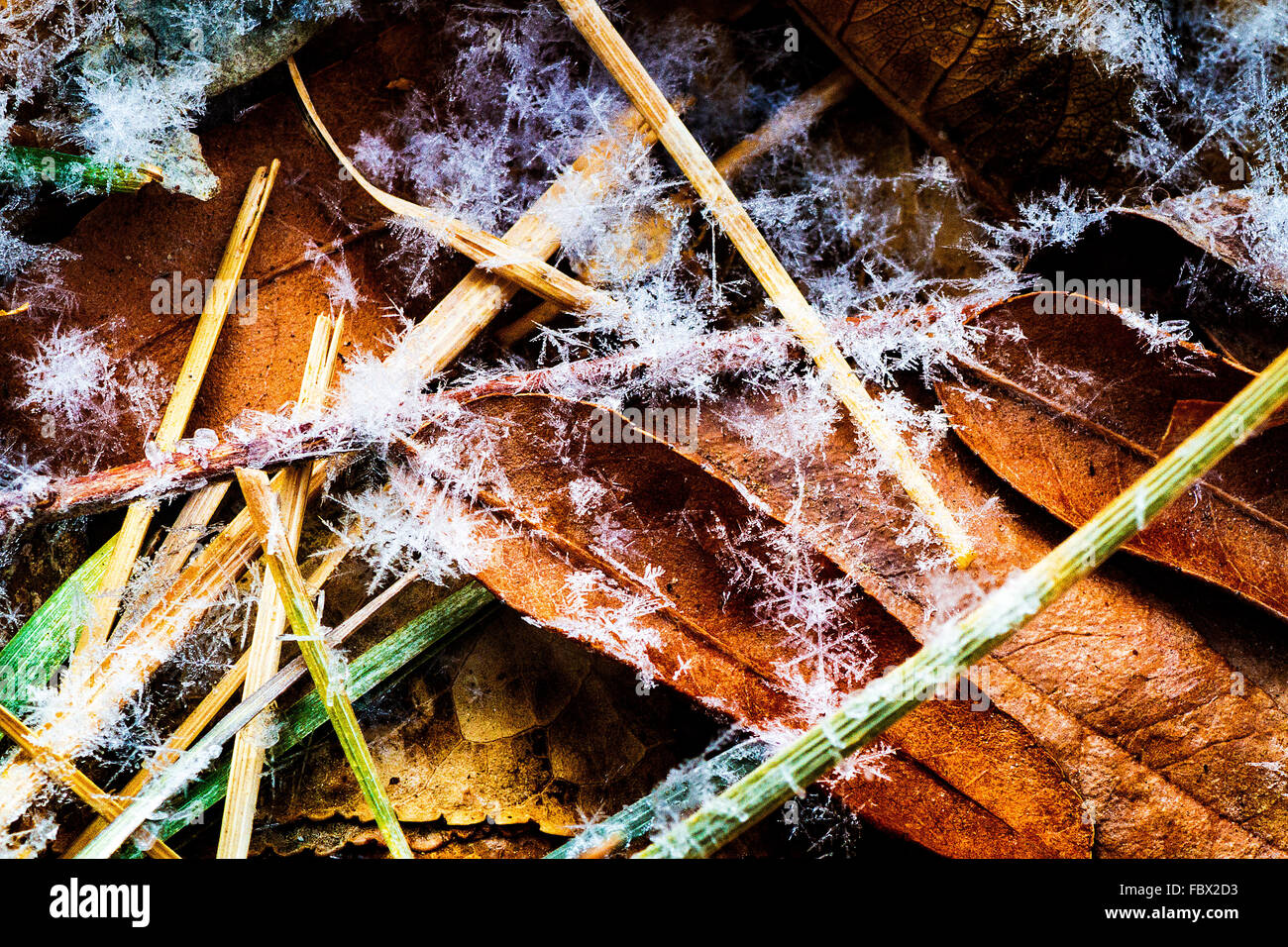 a-group-of-snowflakes-on-leaves-and-grass-created-by-lake-effect-snow-FBX2D3.jpg
