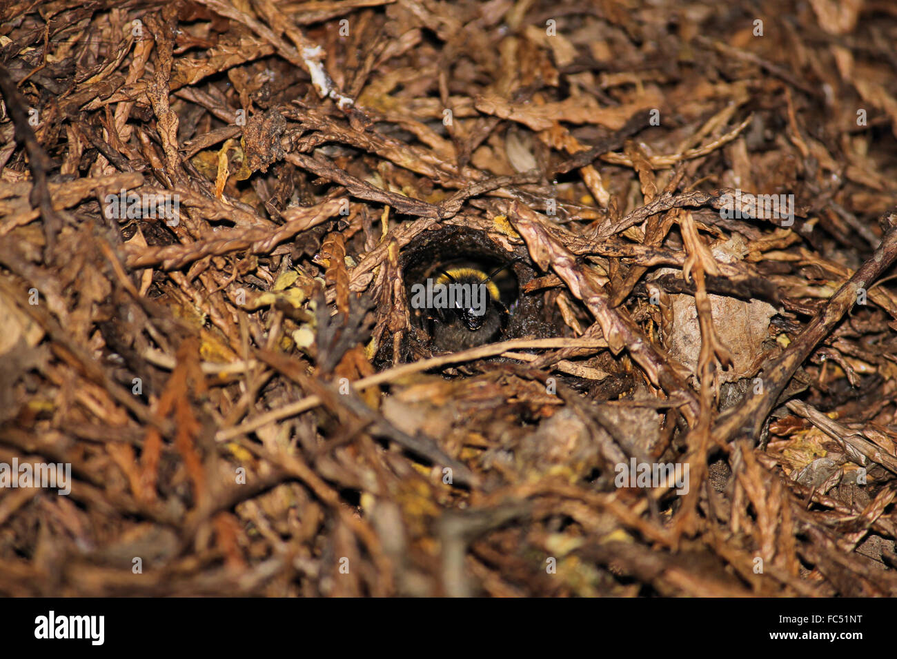 bumble bee emerging from hive from under the ground stock photo