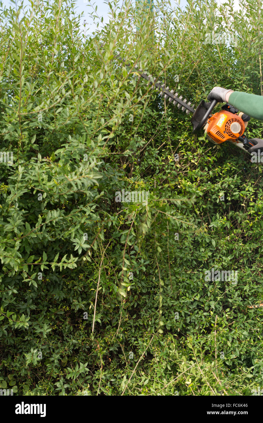 Cut privet hedge with hedge clippers Stock Royalty Free