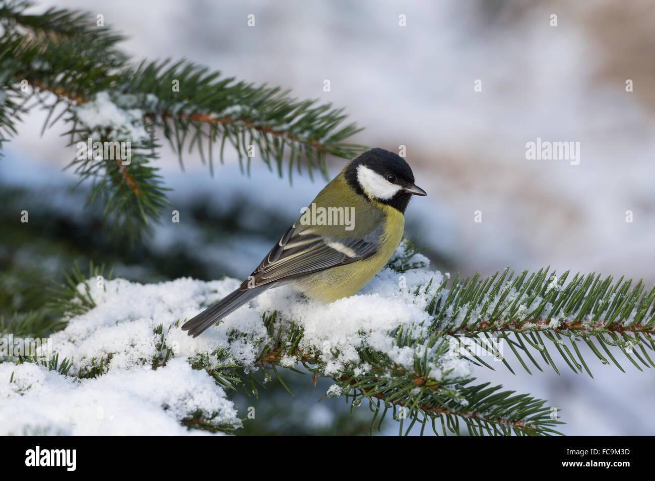 great tit winter snow kohlmeise schnee winter kohl meise stock photo royalty free image. Black Bedroom Furniture Sets. Home Design Ideas