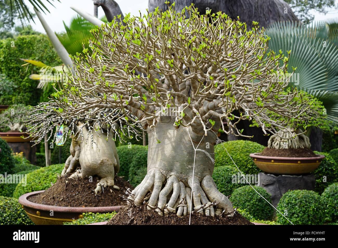 Bonsai Tree In A Pot At Nong Nooch Village Garden, Thailand