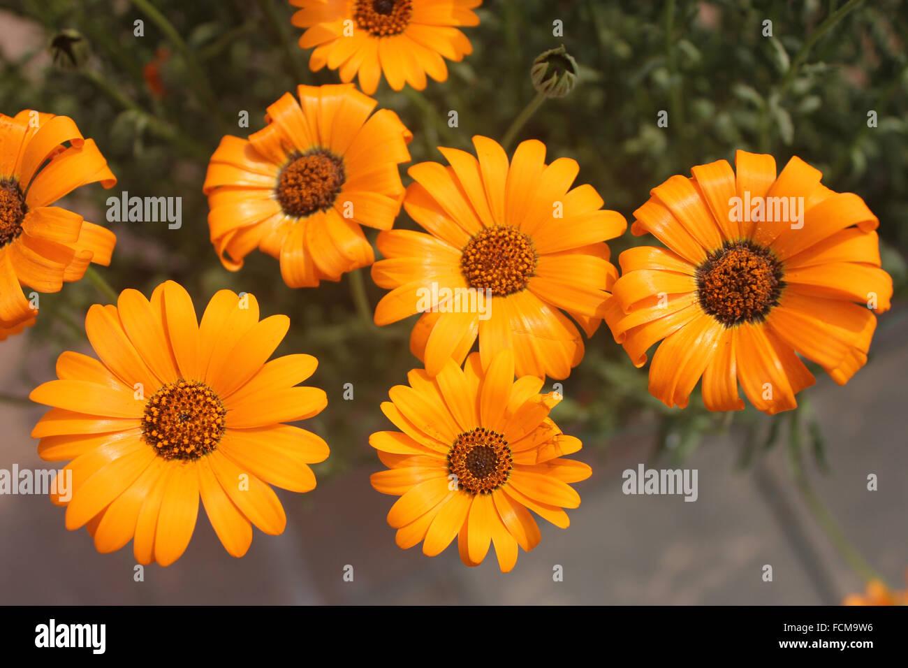 Daisy Flower - Types of Daisies | TheFlowerExpert