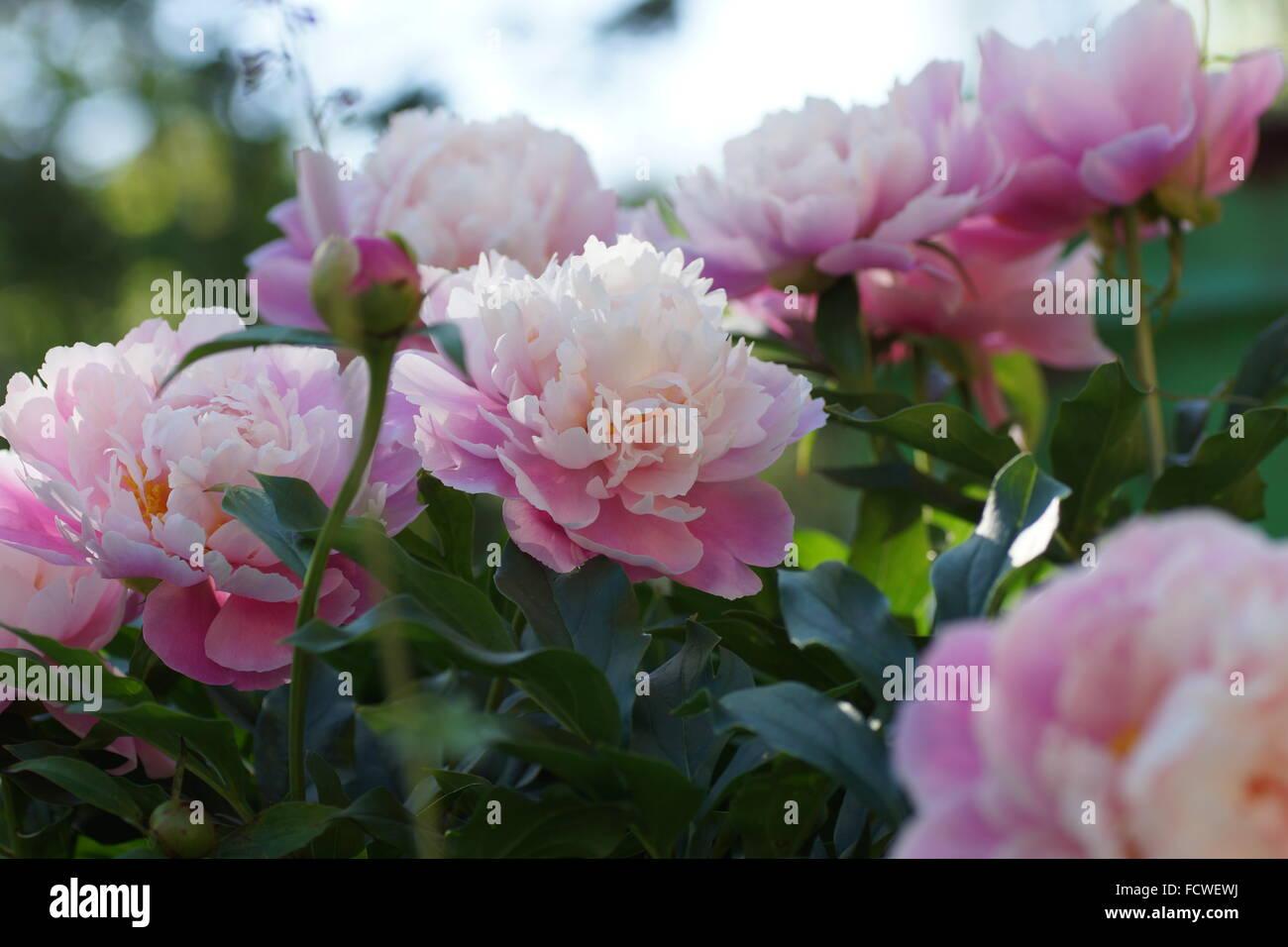 Double pink peony flowers beautiful pink peony flowers stock double pink peony flowers beautiful pink peony flowers dhlflorist Images