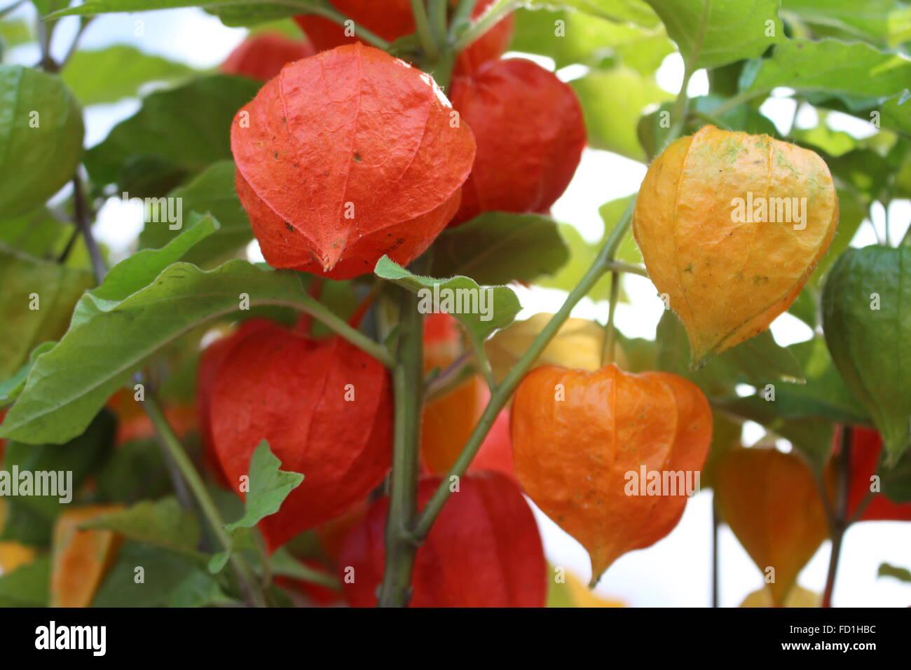 Paper Lantern Flowers Choice Image Fresh Lotus Flowers