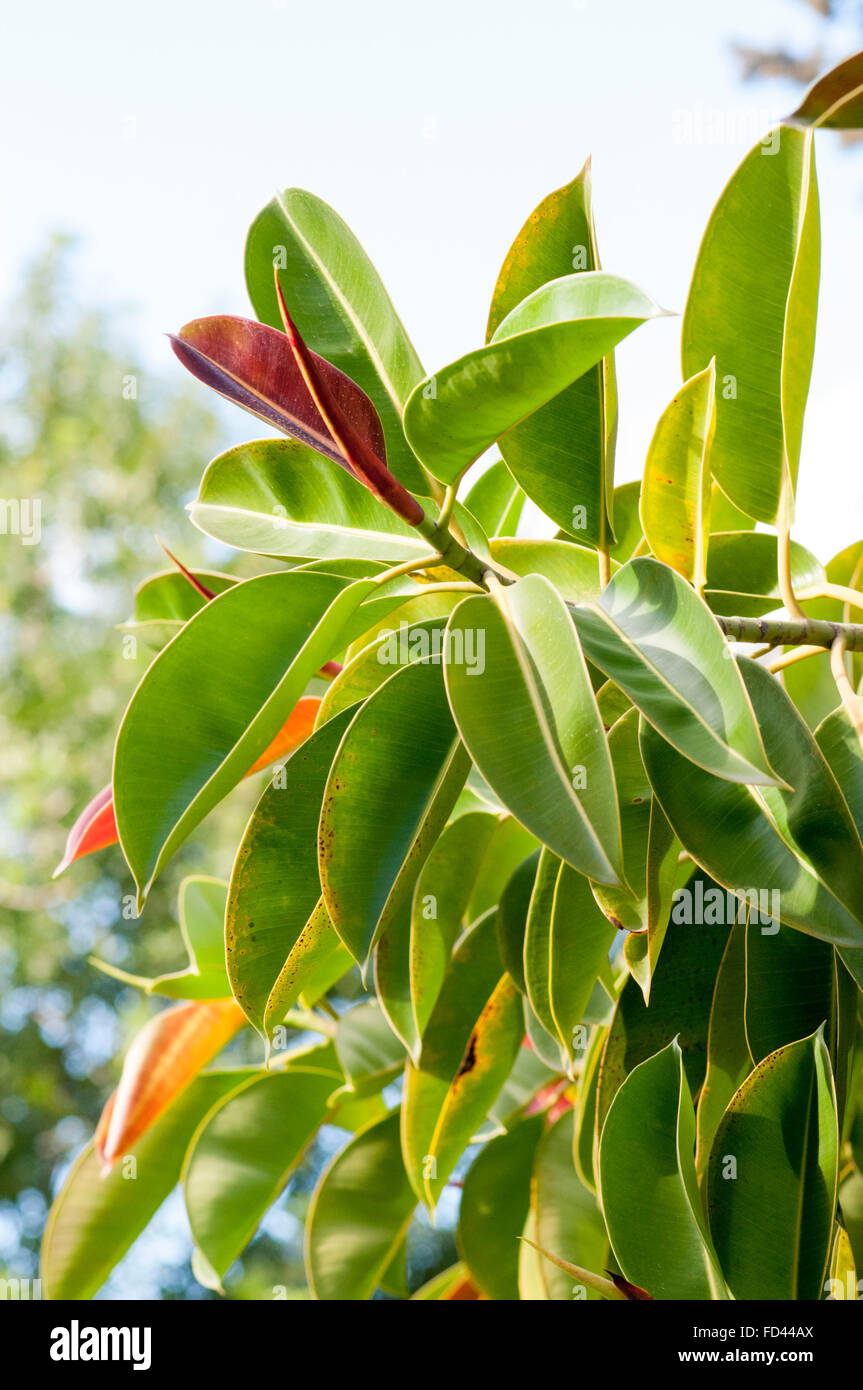 Close Up Of The Rubber Tree AKA Rubber Fig (Ficus Elastica