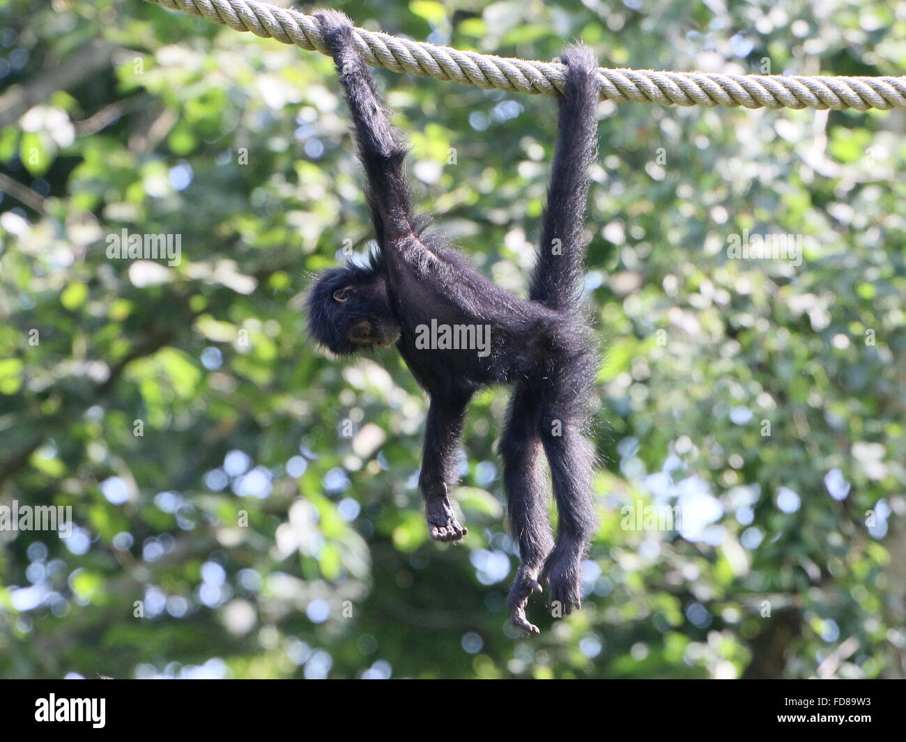 juvenile colombian black headed spider monkey ateles fusciceps