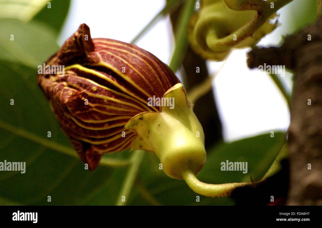Kigelia africana leaves