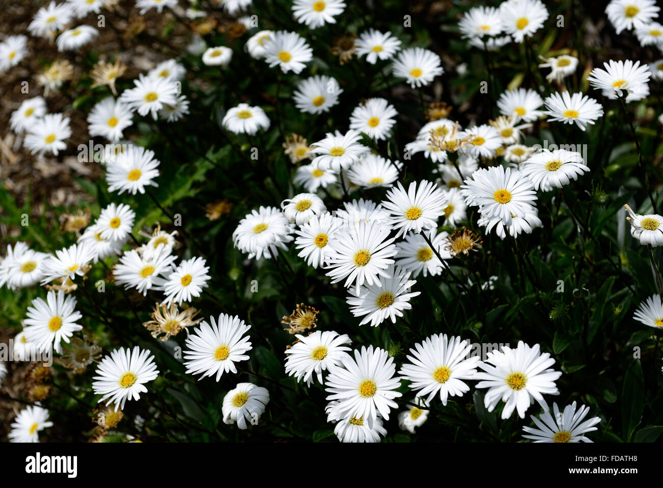 celmisia lindsayi lindsay's daisy daisies small white flower, Beautiful flower