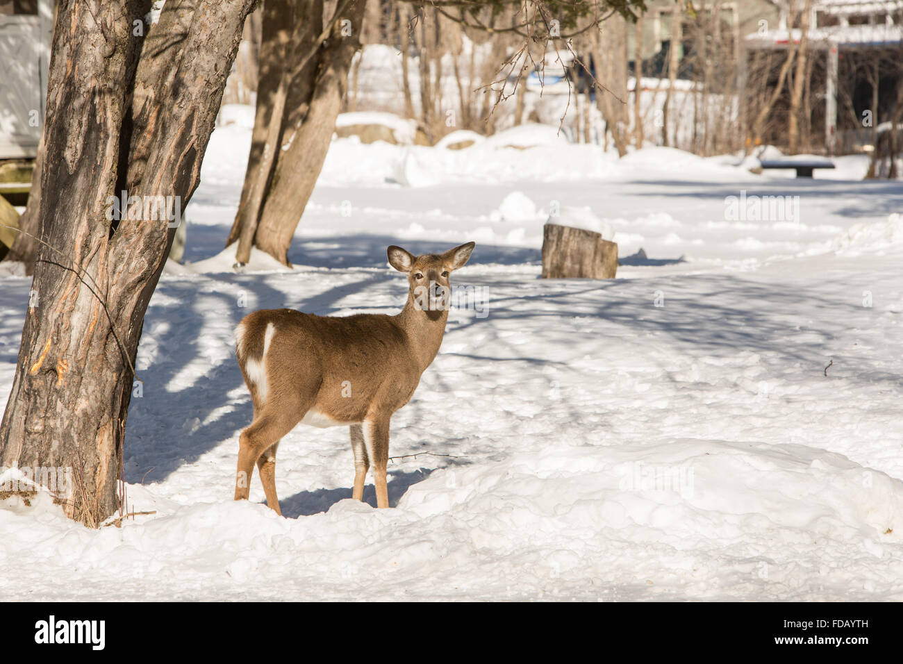 An alert deer near a home in the woods in the winter snow Stock ...