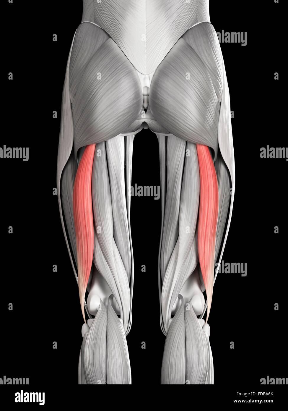 how to build biceps femoris