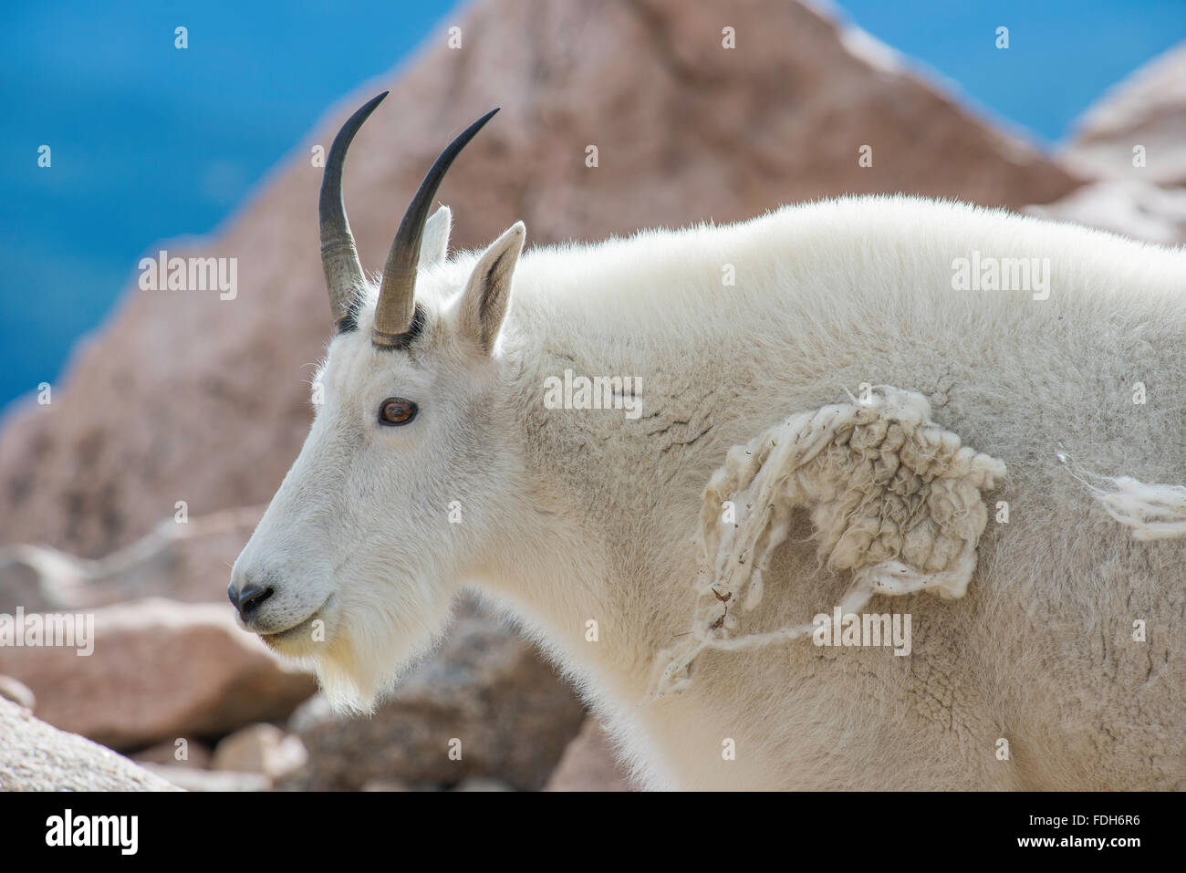 Mountain Goat Oreamnos Americanus Shedding Fur Mount Evans Wilderness Area Rocky Mountains Colorado USA