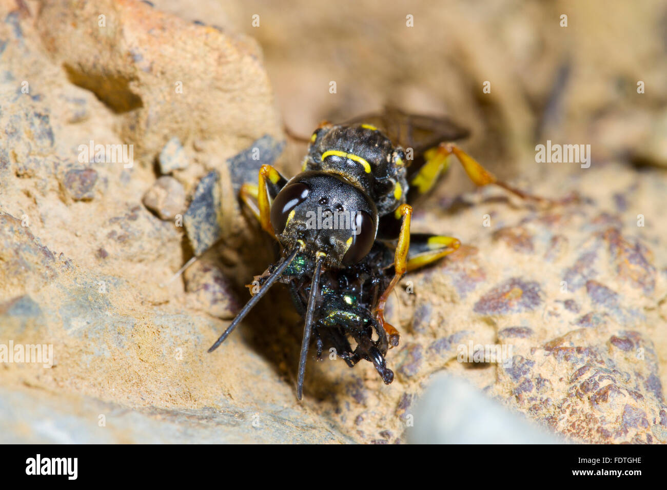 field digger wasp and fly symbiotic relationship