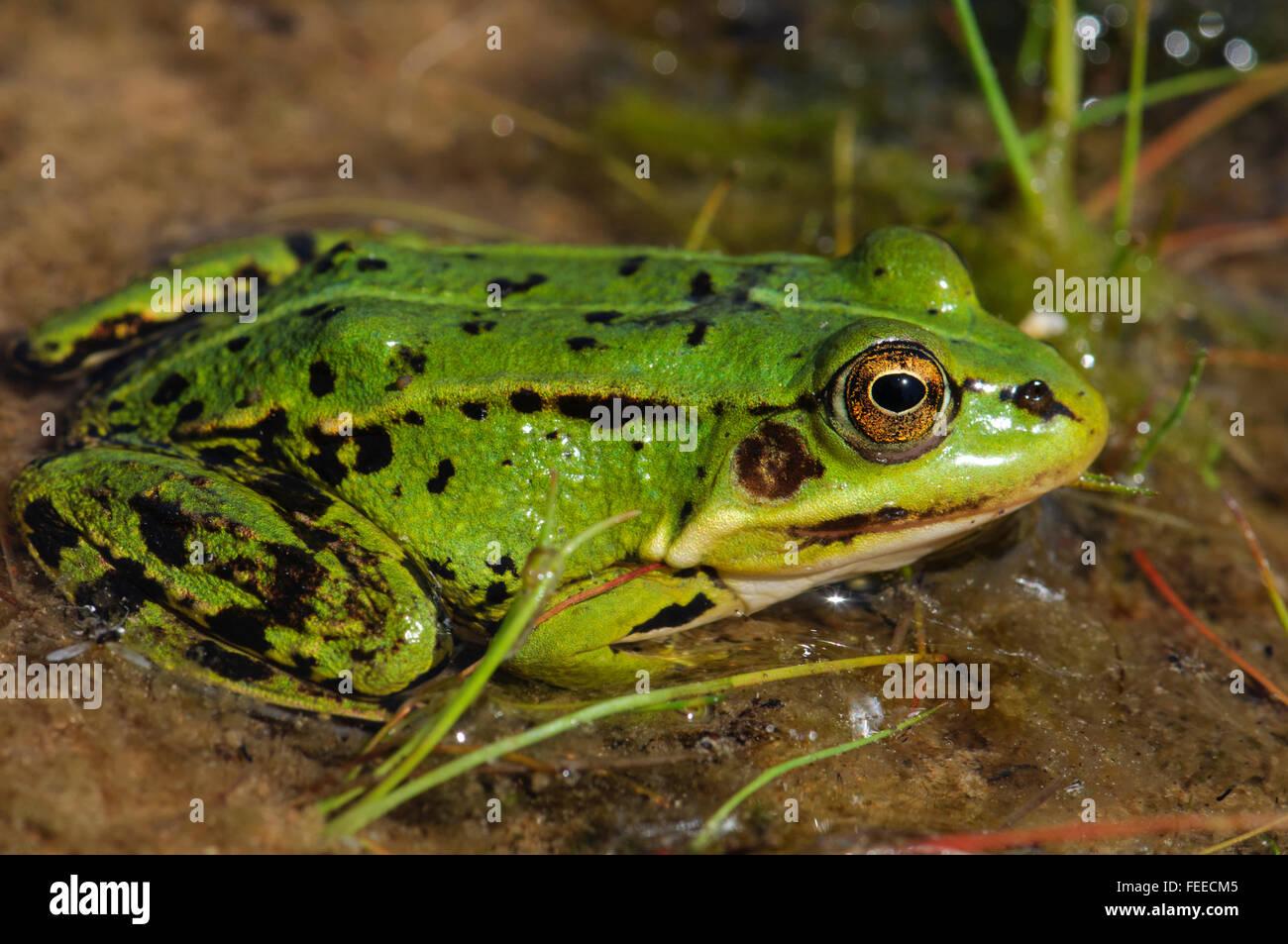 edible green frog rana esculenta stock photo royalty free image