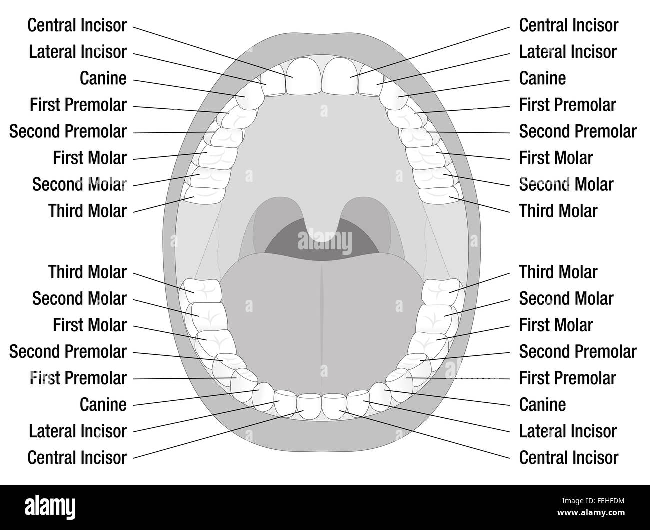 Permanent teeth stock photos permanent teeth stock images alamy teeth names of permanent teeth illustration on white background stock image pooptronica
