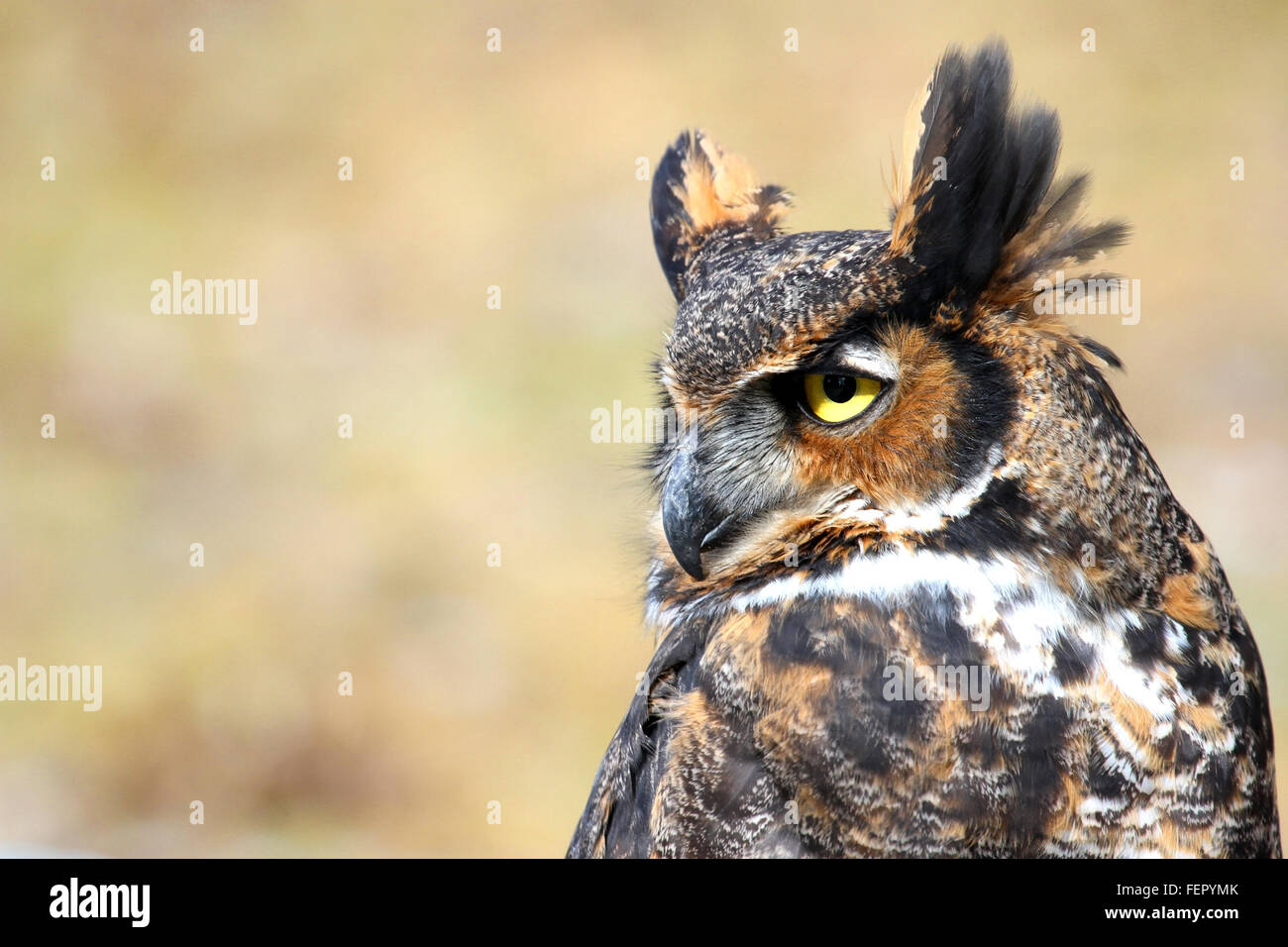 Great horned owl face side view