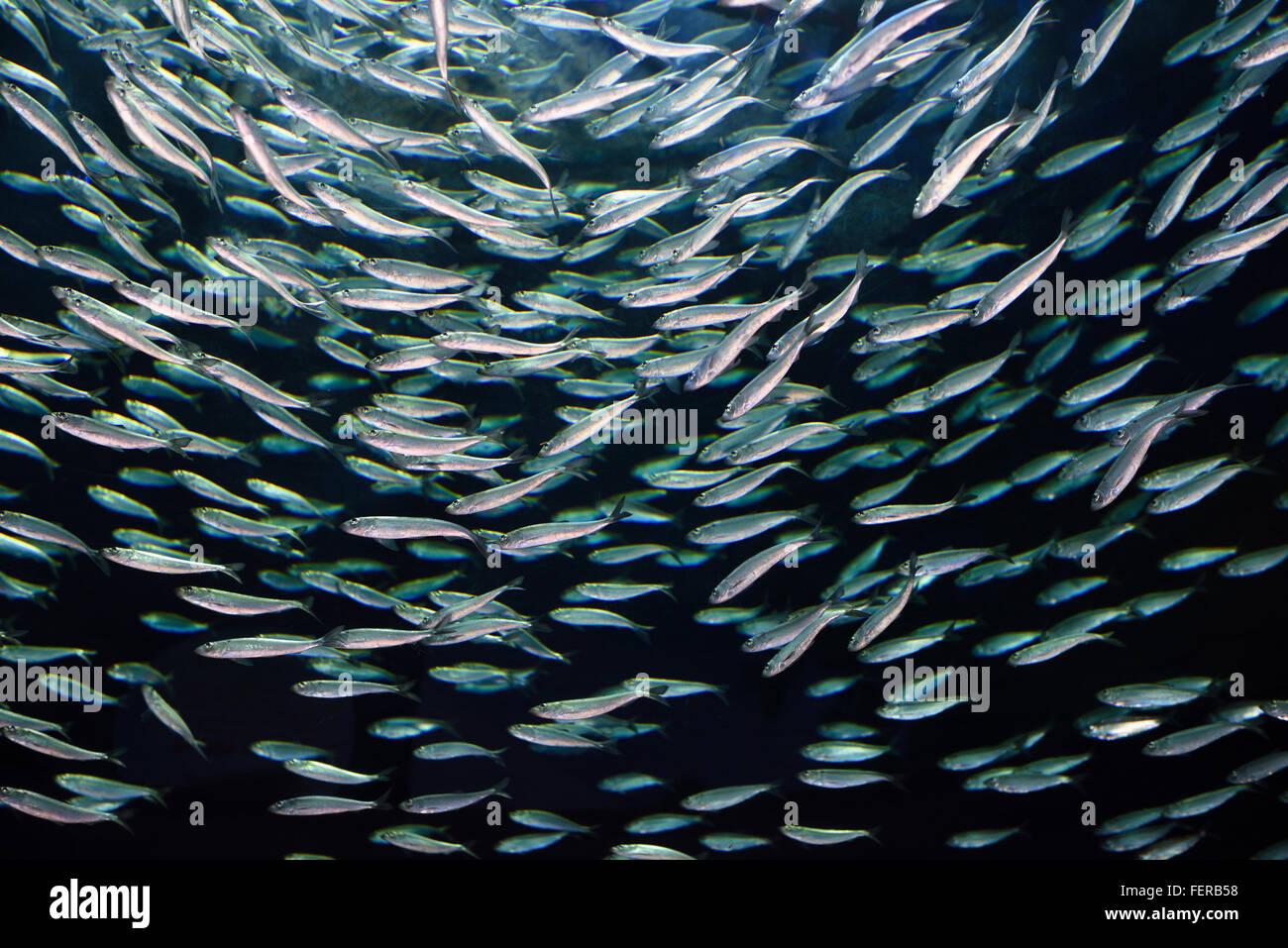 Fish in ripleys aquarium - School Of Circling Alewives Herring Fish Ripleys Aquarium Toronto