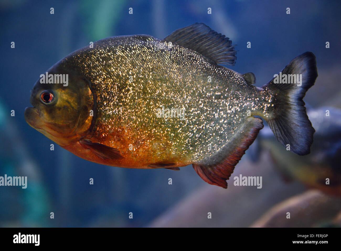 Freshwater aquarium fish piranha - Single Adult Red Bellied Piranha Scavenger Freshwater Fish With Blue Background Ripleys Aquarium Toronto