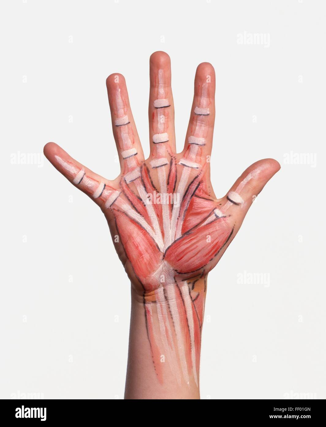 hand with bone structure and muscle groups painted on skin stock, Muscles
