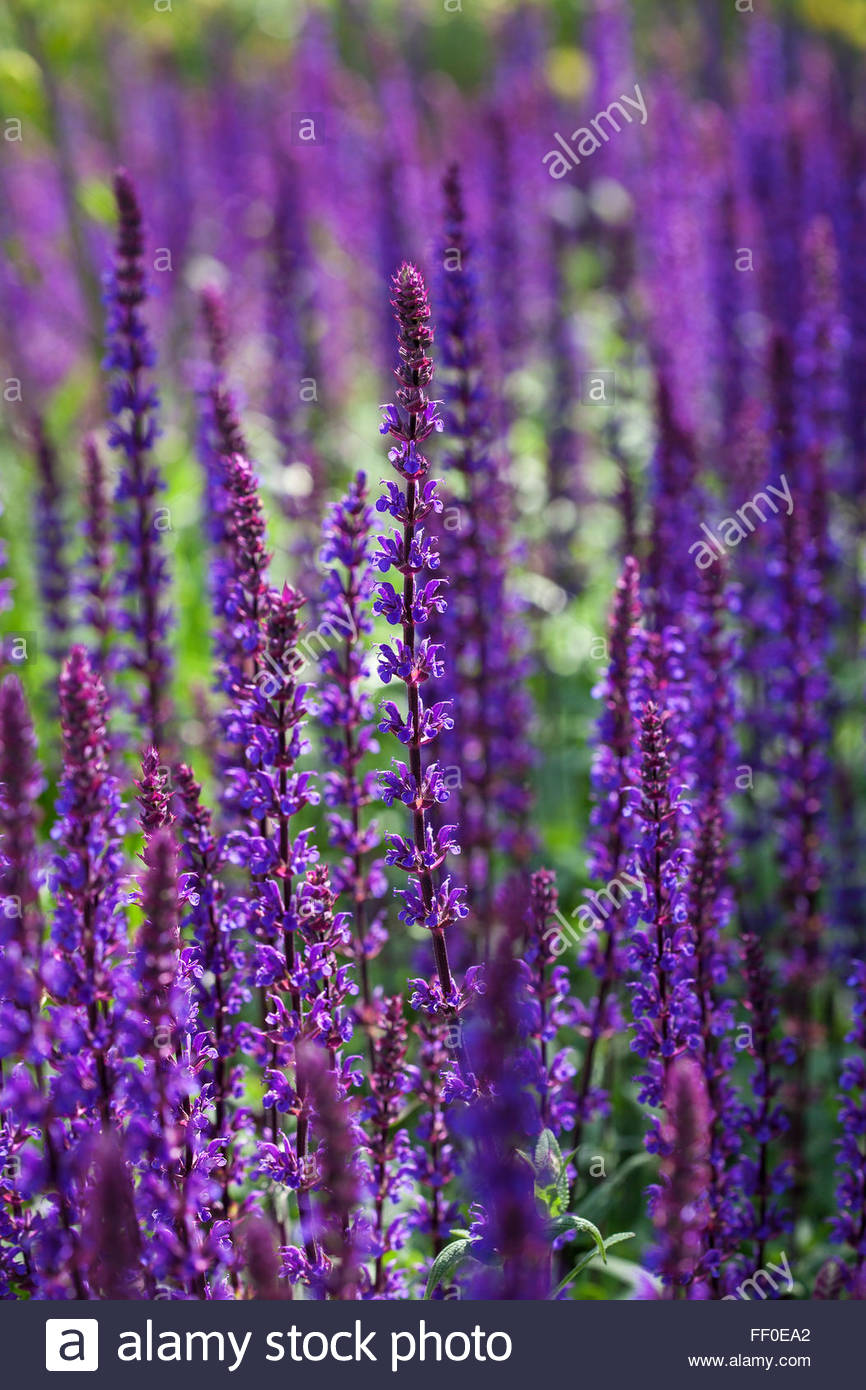 salvia nemorosa 39 caradonna 39 in flower stock photo royalty free image 95282938 alamy. Black Bedroom Furniture Sets. Home Design Ideas